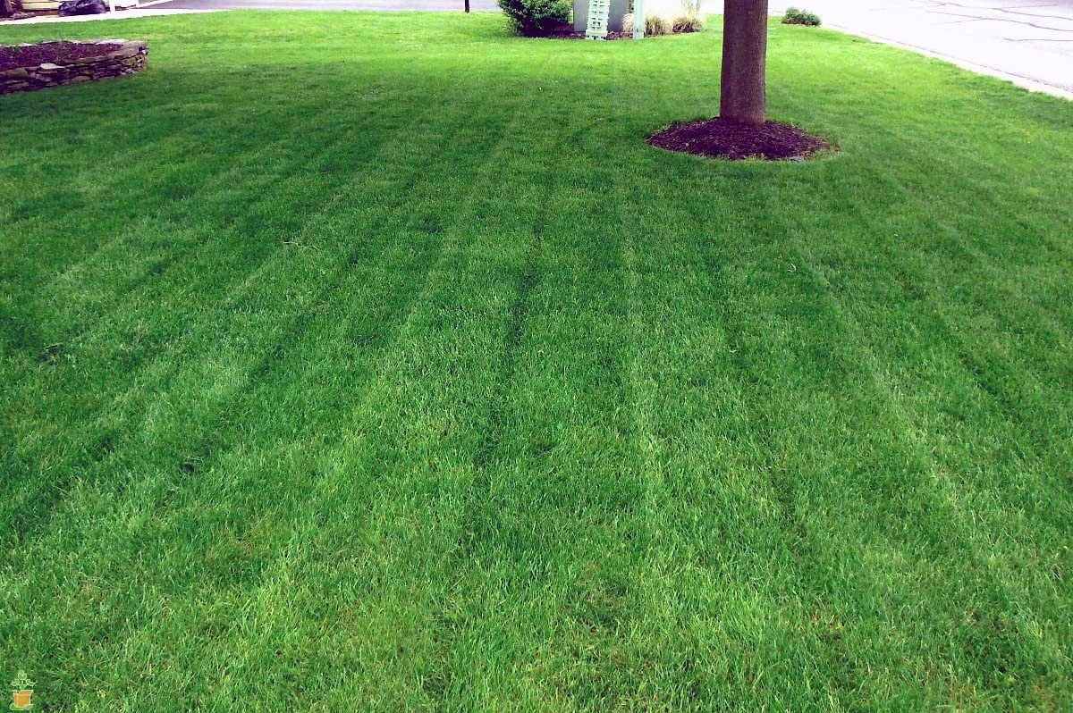 Lesco Double Eagle Rye Grass Seed 50 lb Bag Bulk by The Planting Tree (Image #2)