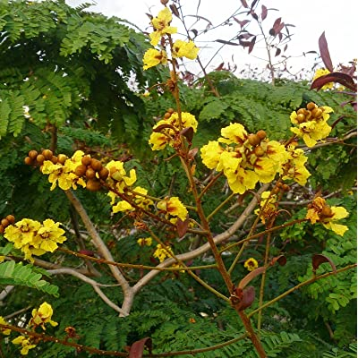 Peltophorum pterocarpum | Copperpod | Golden Yellow Flamboyant | 10_Seeds : Garden & Outdoor