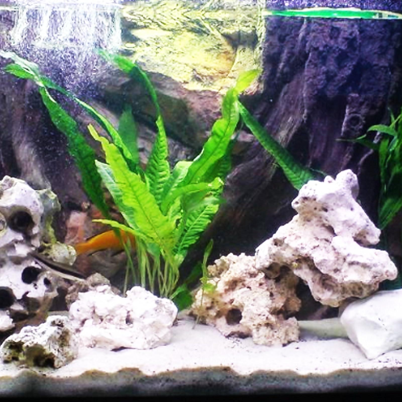 Mainam Java Fern Microsorum Pteropus Potted Freshwater - 5