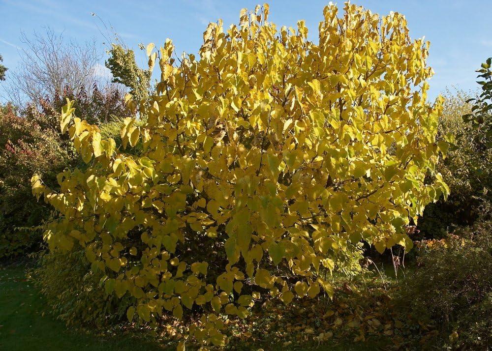 SAFLAX M/ûrier noir 200 graines Morus nigra