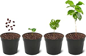 """Grow Your Own Coffee Plant Kit (Pack of 2) Arabica Coffee Complete Growing Kit, 4"""" Plant Pots, Coconut Coir Discs, Coffee Seeds, Plant Markers, Drip Trays and Guide"""
