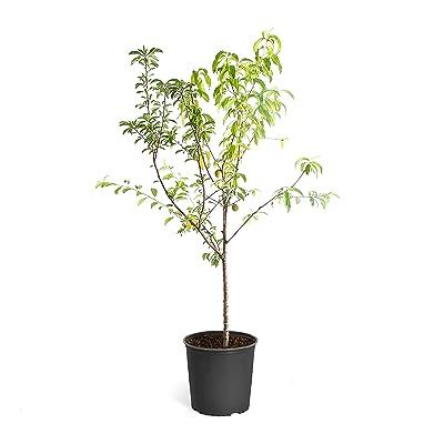 Brighter Blooms - Elberta Peach Tree - Outdoor Fruit Plant, 5-6 Feet in a 3 Gallon Pot, No Shipping to AZ, AR, CA, ID, LA, or WA : Garden & Outdoor
