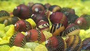 Family of 5 Red Racer Nerite Snails Freshwater Snails Algae Eaters
