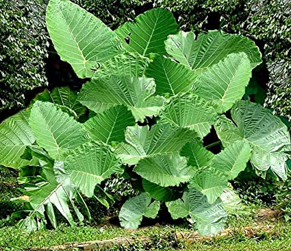 Perennial Tall Elephant Ear Bulbs Spectacular Colocasia Large Plant Home Outdoor