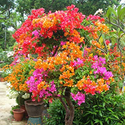 hfjeigbeujfg Garden Seeds, 100Pcs Multicolor Bougainvillea Speetabilis Seeds DIY Home Garden Flower Plant : Garden & Outdoor