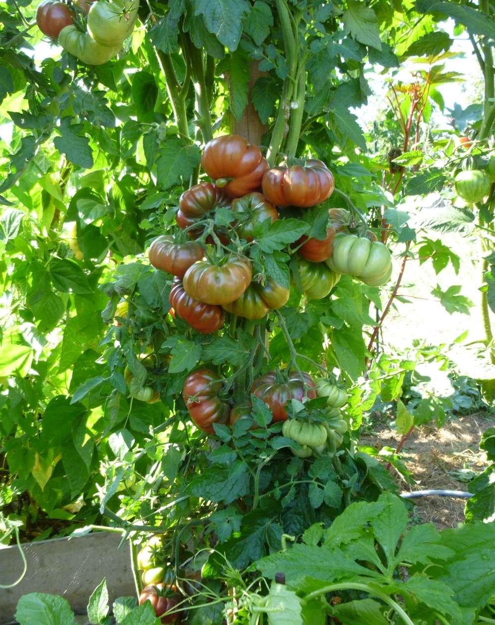 10 Samen Purple Calabash Tomate – alte Sorte, außergewöhnliche ...