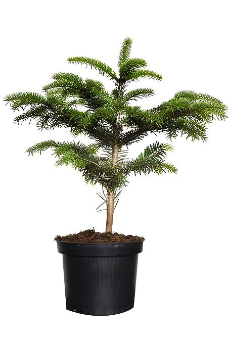 Weihnachtsbaum Kaufen Pforzheim.5 X Nordmanntanne Im Topf Gewachsen 5 Jährig Weihnachtsbaum Mit Anwachsgarantie 5 Stk Ca 40cm