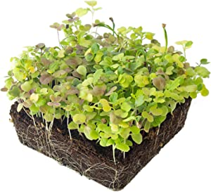 Mesclun Baby Greens Seeds Mix - 3 Gram Packet ~2,700 Seeds - A Vibrant Mix of Arugula, Spinach, Swiss Chard, Endive, Kale, Mustard, and Lettuce Seeds for Planting