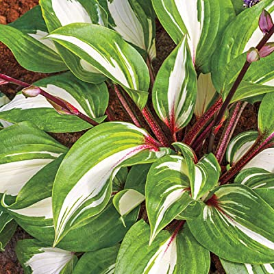 BRECK'S - Raspberry Sundae Hosta - Gorgeouse Red Stems with a Variegated Hosta Make This a Unique Addition to Your Garden - 1 Bareroot Plant per Offer : Garden & Outdoor