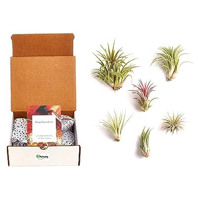 Shop Succulents Ionantha Air Plants (Collection of 6), 6: Garden & Outdoor