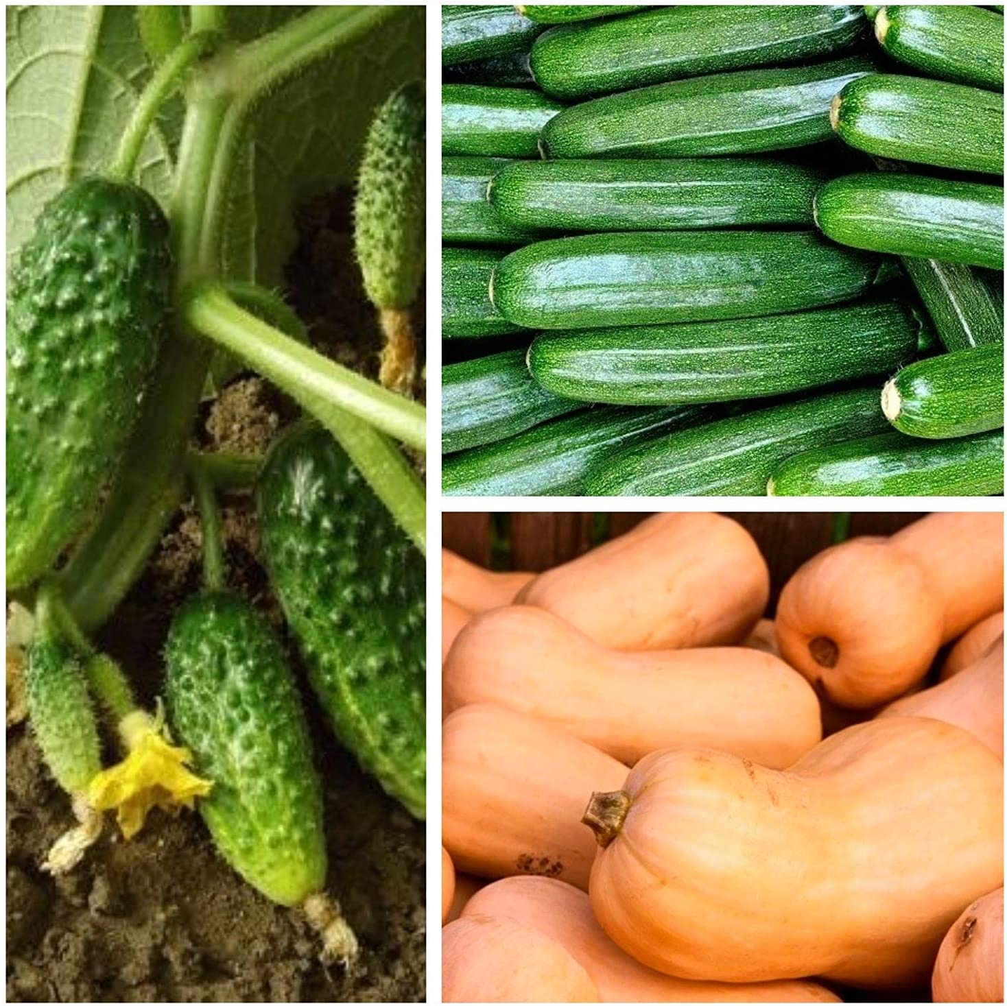Zucchini Squash Cucumber courgette Set of Seeds of 3 Vegetable Plants