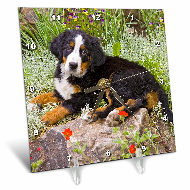 3dRose dc/_88859/_1 Colorado Desk Clock Jaynes Gallery Bernese Mountain Dog US06 BJA0157 6 by 6-Inch Breckenridge