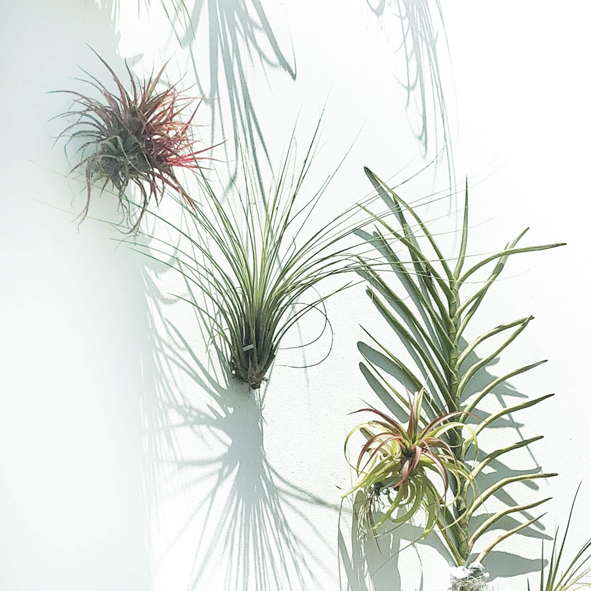 ArtAK Wall Planter Air Plant Holder Wall Hanging AIR KNOTS | 5 Wall Mount Planters for Large Air Plant & Vanda Display | Vertical Garden Modern Hanging Planter | Hanging Air Plants and Holders Grey by ArtAK (Image #7)