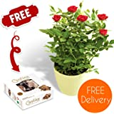 Quality Plants Delivered - Delivery Included - Potted Red Rose Bush with Free Chocolates - Plant Care Instructions - Perfect for birthdays, anniversaries and thank you gifts