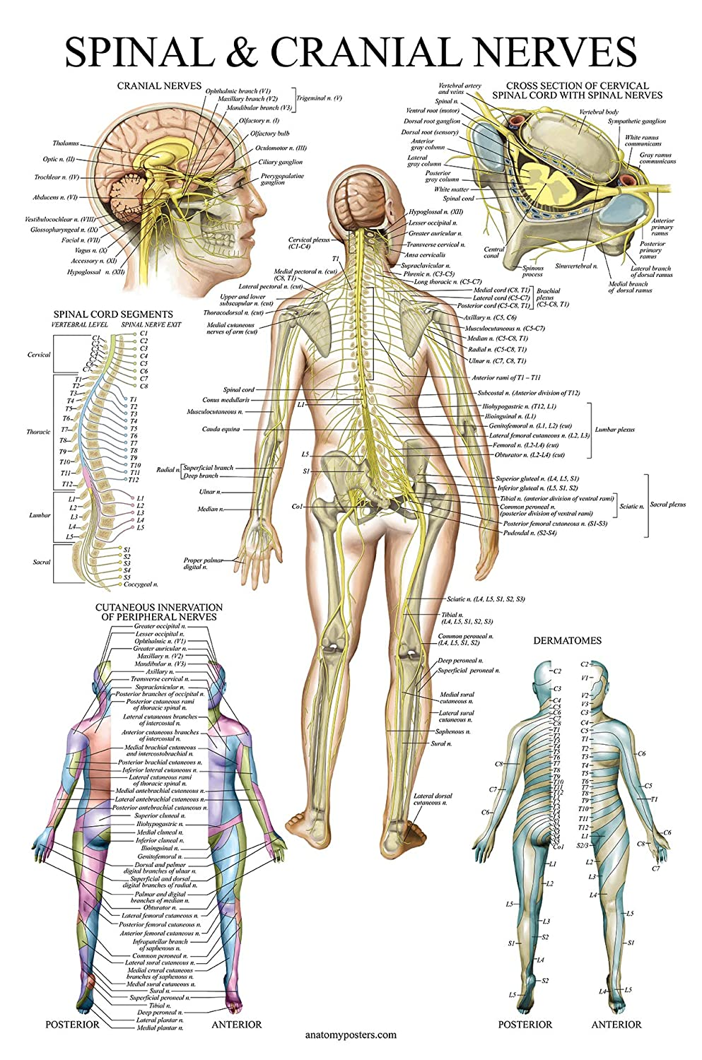 Spinal Nerves Anatomical Chart Spine And Cranial Nervous System