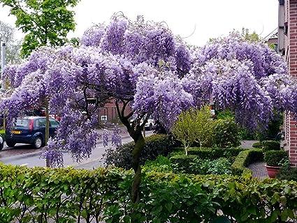 Amazon Com Japanese Wisteria Floribunda Rare Vine Flowering Purple