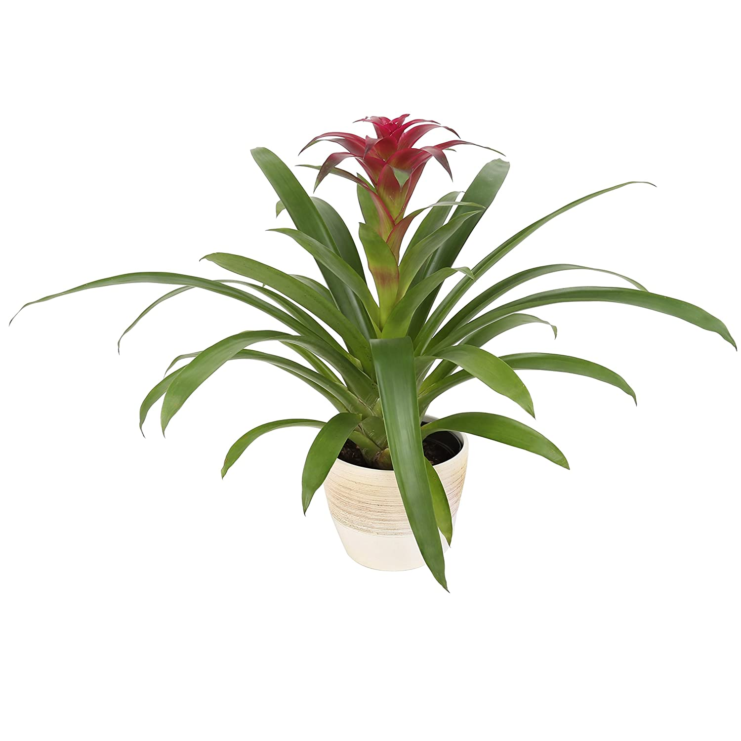 Costa Farms Live Indoor Blooming Pink Bromeliad in 6-Inch Scheurich Cream Home D/écor-Ready Planter Great Gift 20-Inches Tall