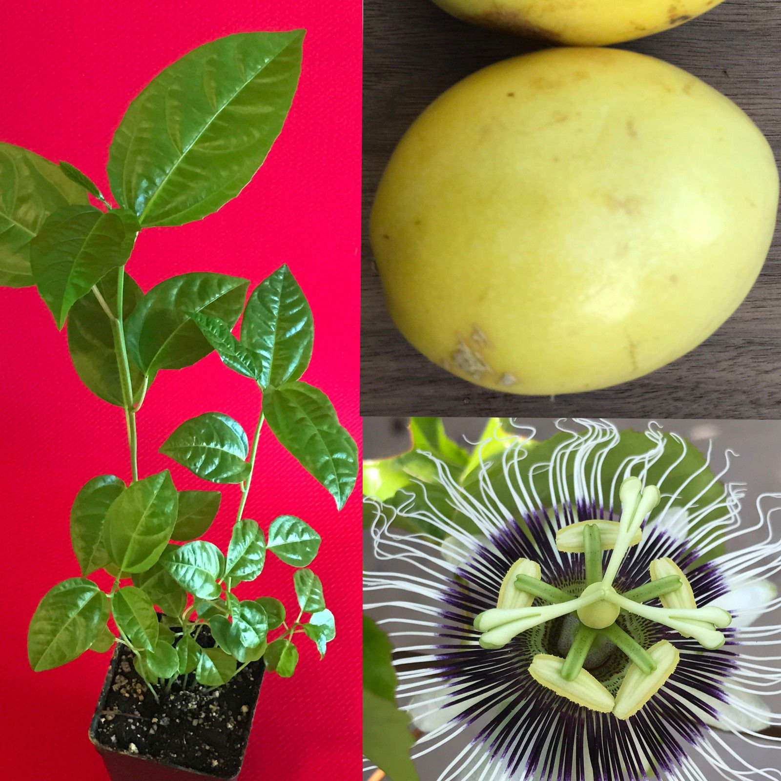 New and Healthy Yellow Passion Fruit Passiflora Edulis Potted Starter PLANT Tropical Vine