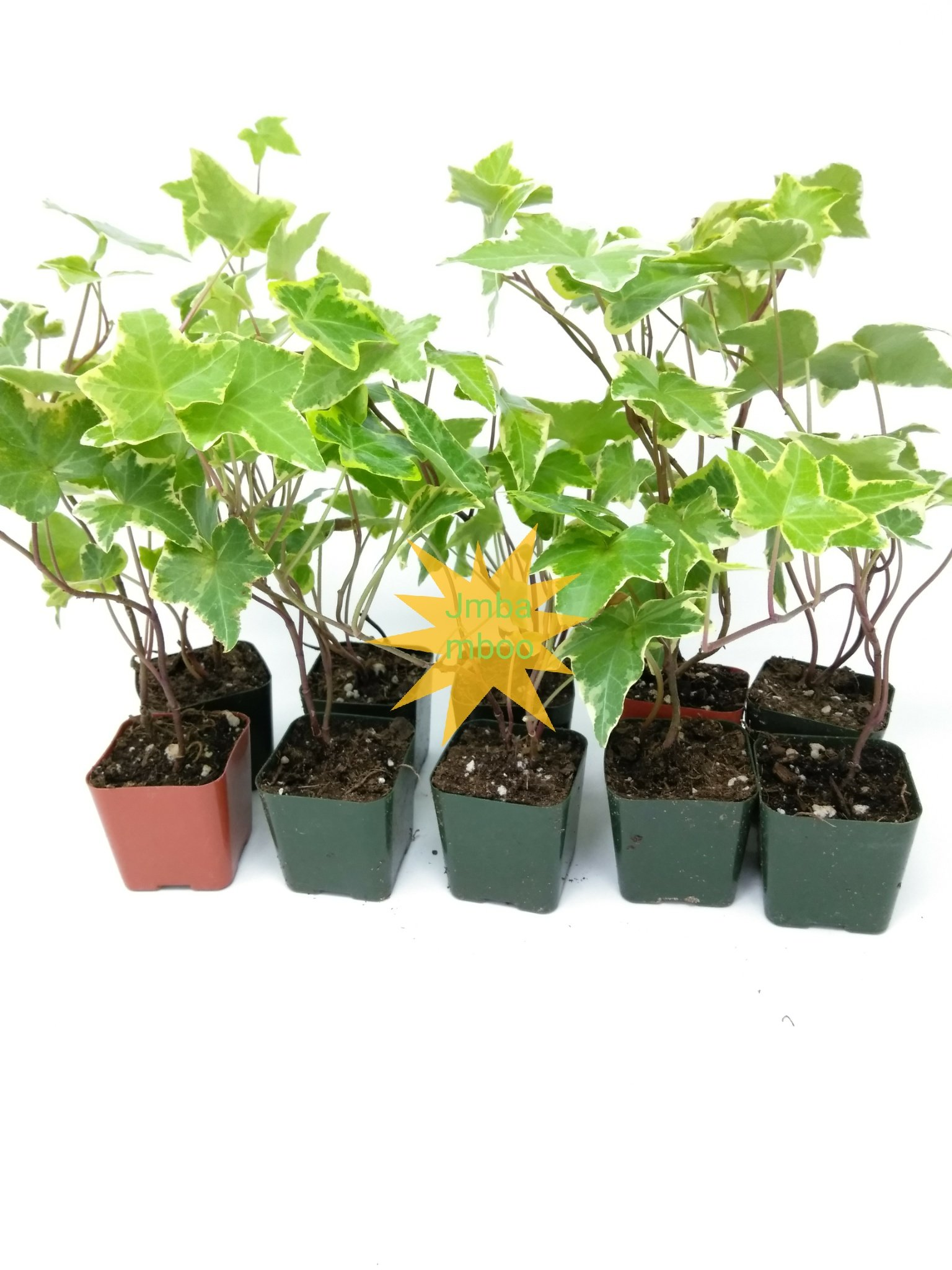 Jmbamboo - English Ivy Hedera Helix Air Purification Plant - Groundcover - 2 1/4'' Pot by Jmbamboov (Image #2)