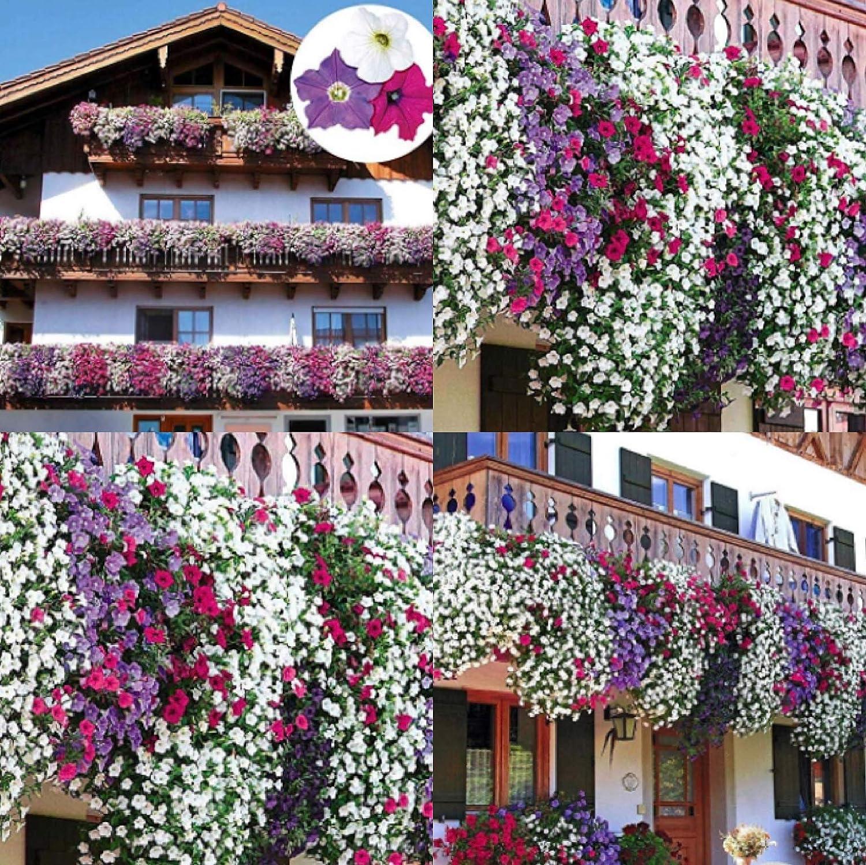 TOMASASeedhouse- 100pcs Jardín Colgante Petunia