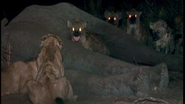 Eternal Enemies Lions And Hyenas Trailer
