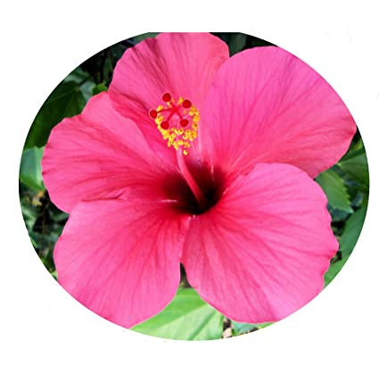 Image result for pink hibiscus