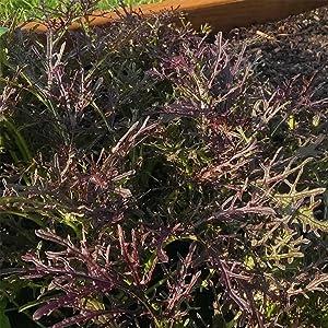 Red Leaf Mizuna Mustard Garden Seeds - 1 Oz ~8,400 Seeds - Non-GMO, Heirloom Vegetable, Herb & Microgreens Gardening Seeds