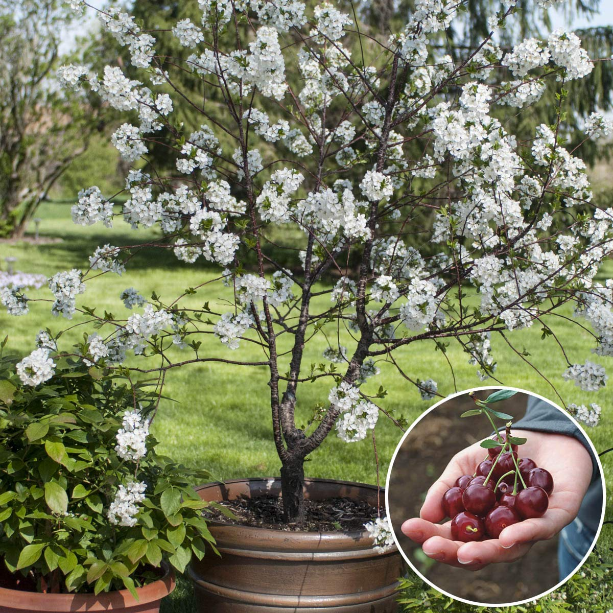 Romeo Cold Hardy Dwarf Bush Cherry Tree - Ships as a Bare Root Plant - Newly Available in The U.S.A.! - Due to regulations Can't Ship to CA, CO, ID, OR, or WA.