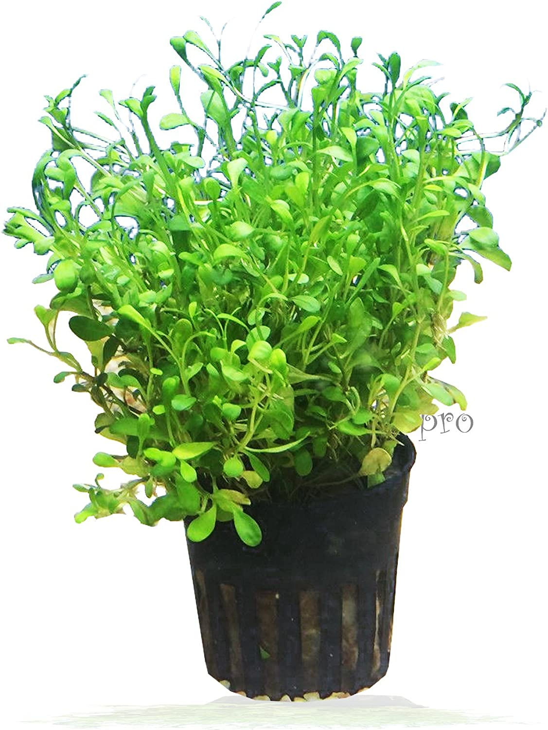 3 Carpet Plants Package Dwarf Baby Tears Dwarf Hairgrass and Glosso Potted Live Aquatic for Aquarium Freshwater Fish Tank by Greenpro