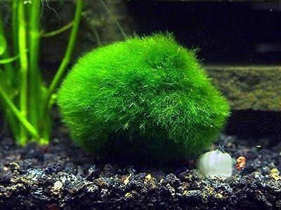 Aquatic Arts 2 Giant Marimo Moss Balls