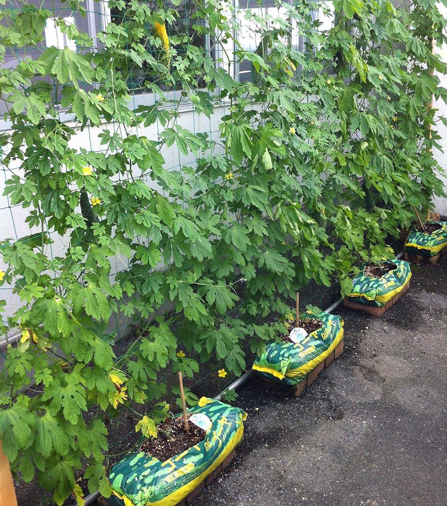緑のカーテン ゴーヤDEゴーヤ 培養土