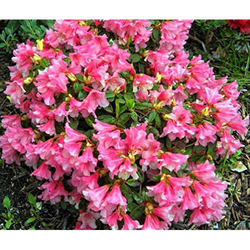 Pink flowering shrubs amazon 9cm pot dwarf rhododendron wee bee deep pink evergreen shrub plant mightylinksfo