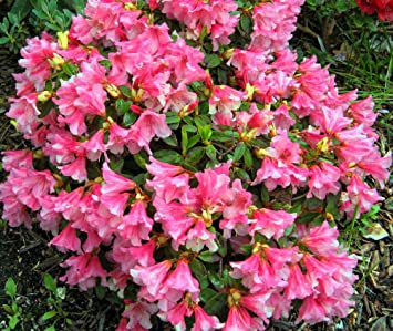 3 Pack 9cm Pots Dwarf Rhododendron Wee Bee Deep Pink Evergreen