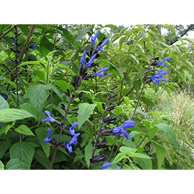 SALVIA GUARANITICA 'Black and Blue' - Starter Plant - SEMIDORMANT : Garden & Outdoor
