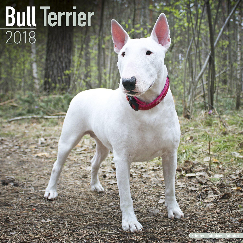 Bull Terrier Calendar - English Bull Terrier Calendar - Dog