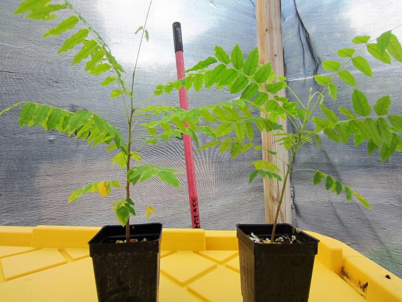 2 seeding Bilimbi PLANTS in 2 pots Averrhoa bilimbi Cucumber Fruit Tree