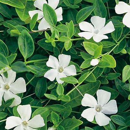 Vinca minor \'Gertrude Jeckyll\' - Weißes Immergrün \'Alba\' - Bodendecker mit  weißen Blüten: unverwüstlich, winterhart - 1 Pflanze im 2 Liter Container  ...