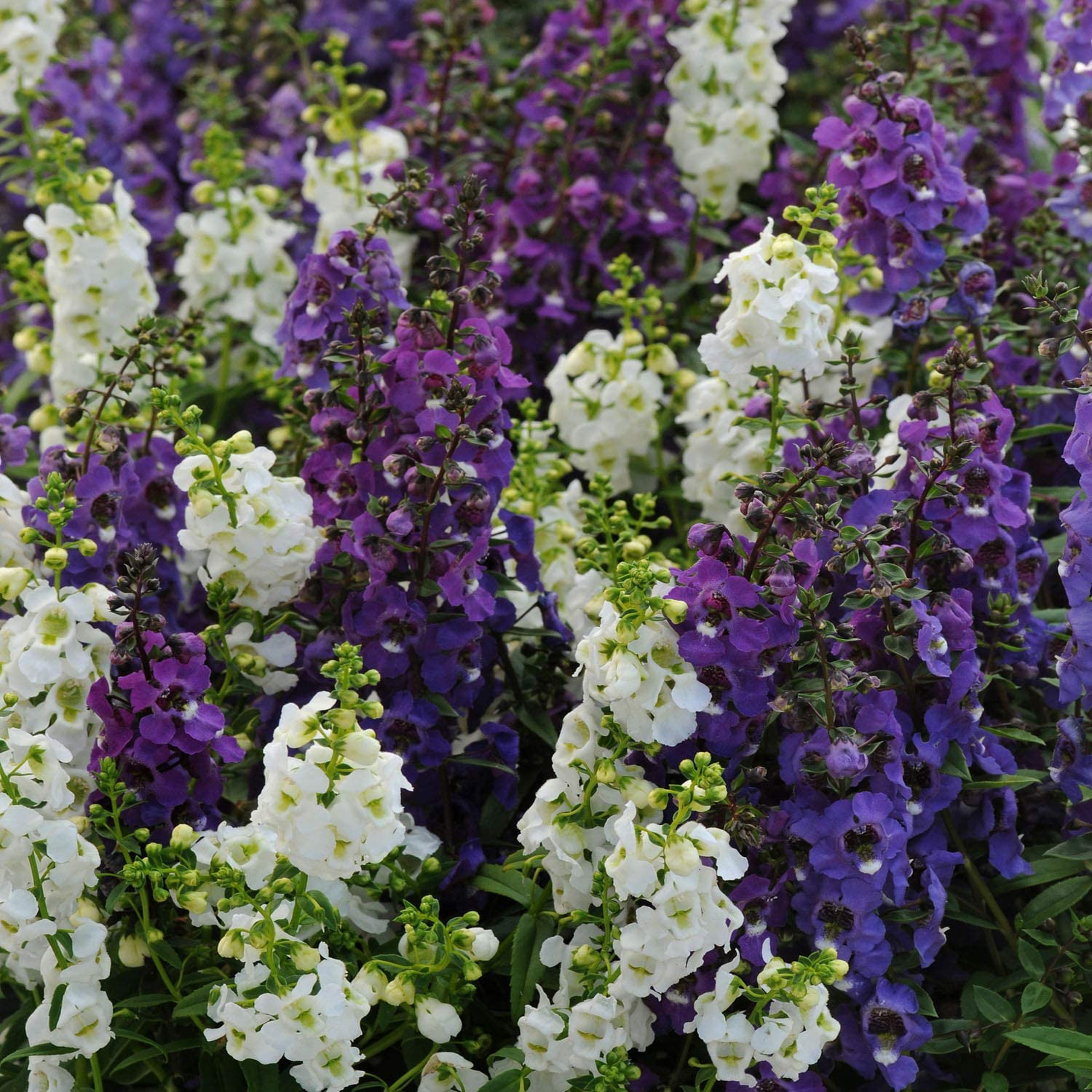 Amazon Com Outsidepride Angelonia Serena Waterfall Mix 15 Seeds