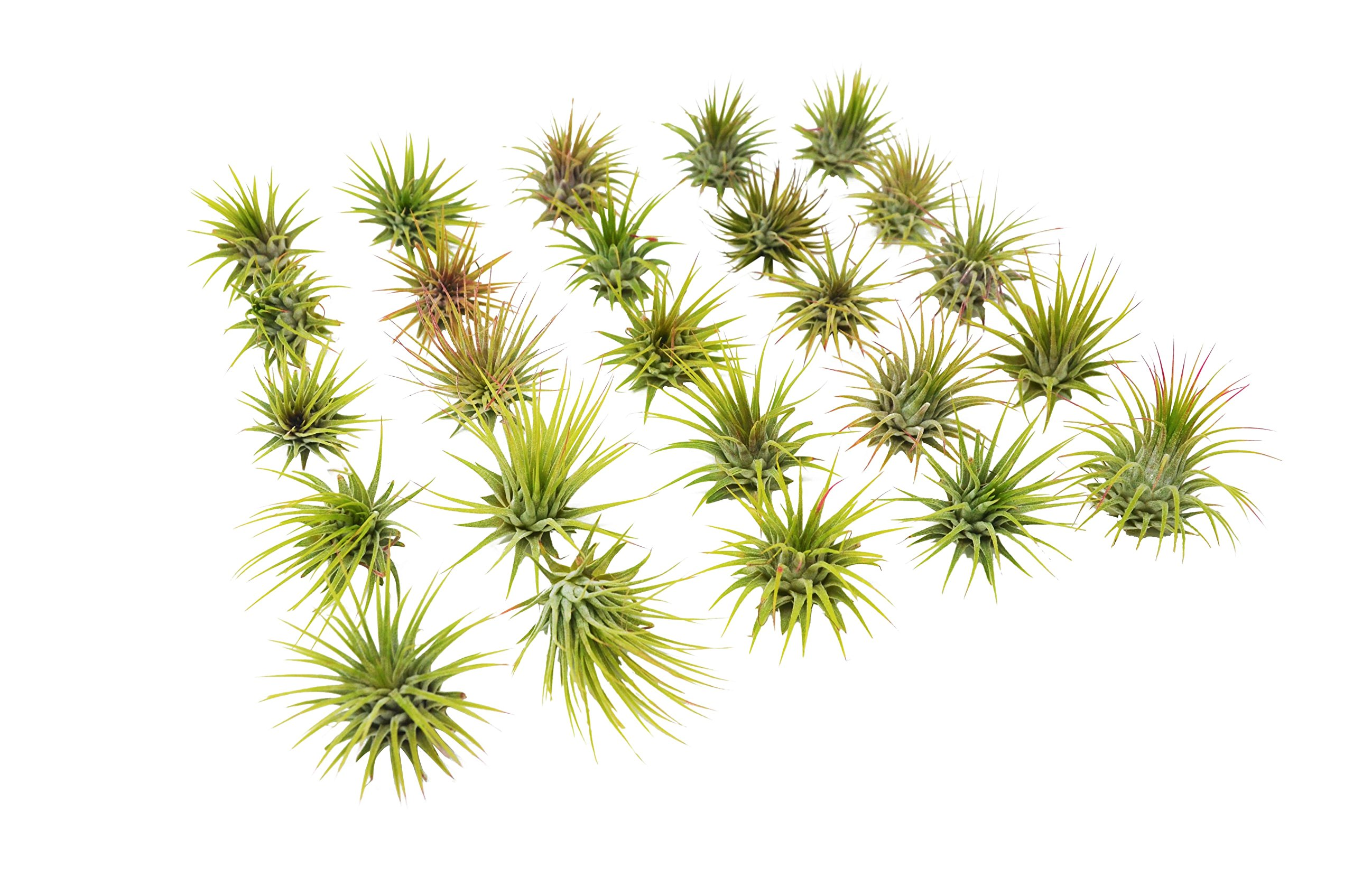 Bulk Ionantha Air Plant Pack / 2-3 Inches Large / Wholesale (25 and 50 Packs) (25)