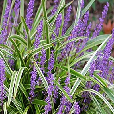 Liriope Grass, 1g : Garden & Outdoor