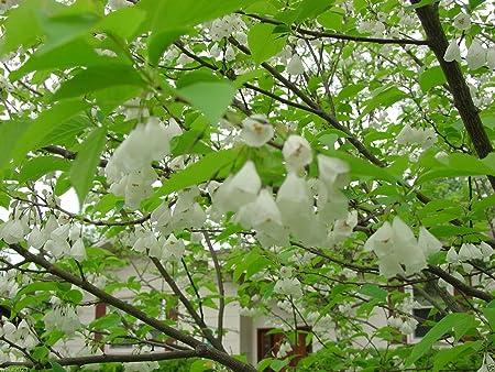 Halesia carolina CAROLINA SILVERBELL TREE Seeds!