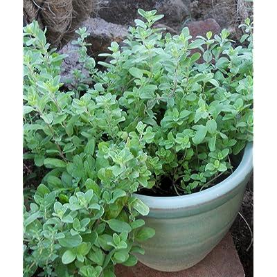 Marjoram Seeds Majorana Hortensis Spice Herb Fresh Approximately 700 Seeds : Garden & Outdoor