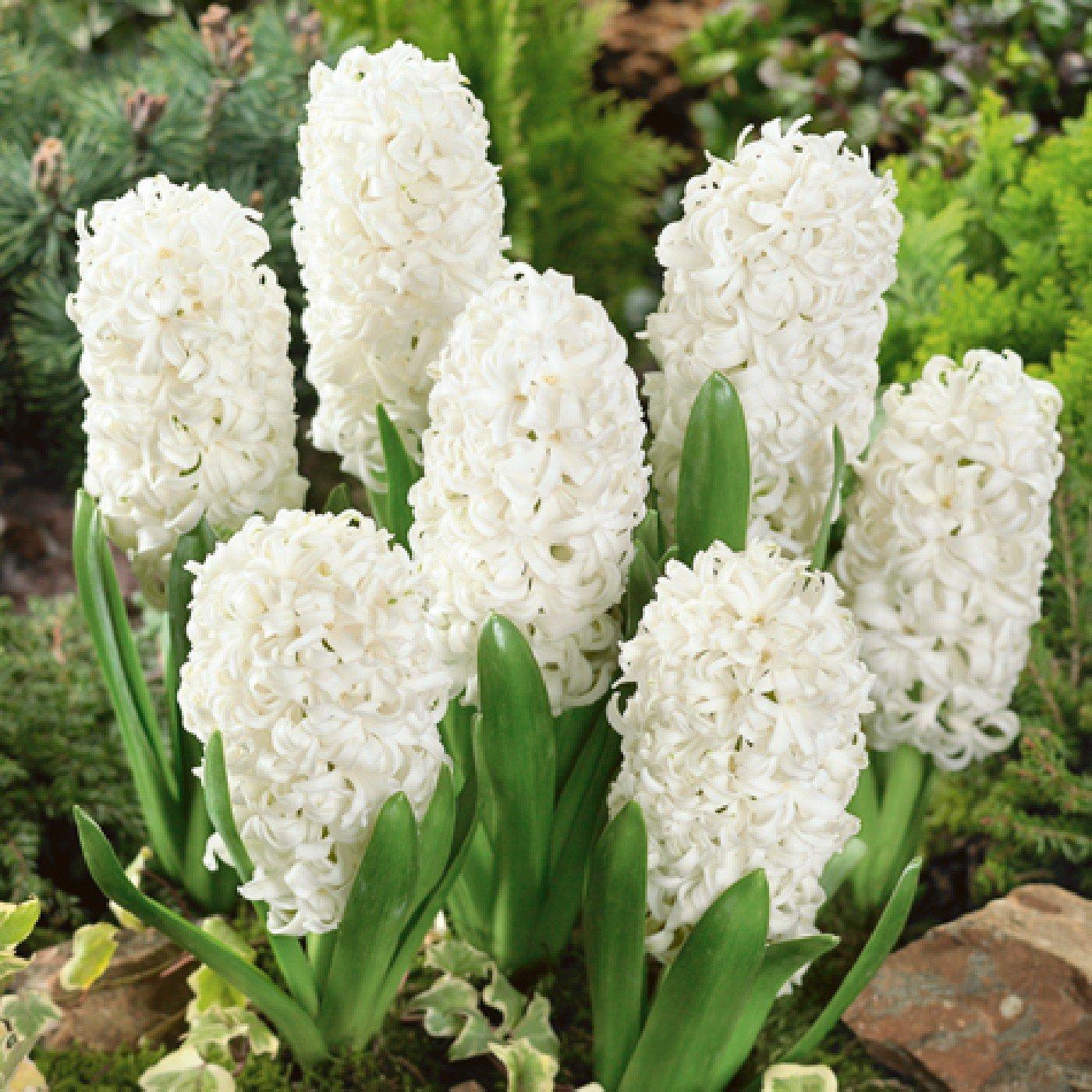 Humphreys Garden Hyacinth Carnegie x 10 Bulbs Size 15/16 Humphreys Garden®