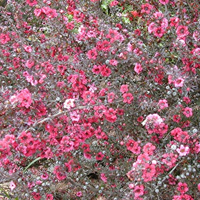 Manuka Tree Seeds (Leptospermum scoparium) 10+ Rare Medicinal Herb Seeds in FROZEN SEED CAPSULES for The Gardener & Rare Seeds Collector - Plant Seeds Now or Save Seeds for Years : Garden & Outdoor