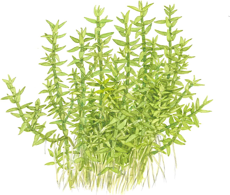 /2-grow Tissue Culture in vitro planta para Acuario Camar/ón Safe /& Caracol libre Tropica gratiola viscidula 1/