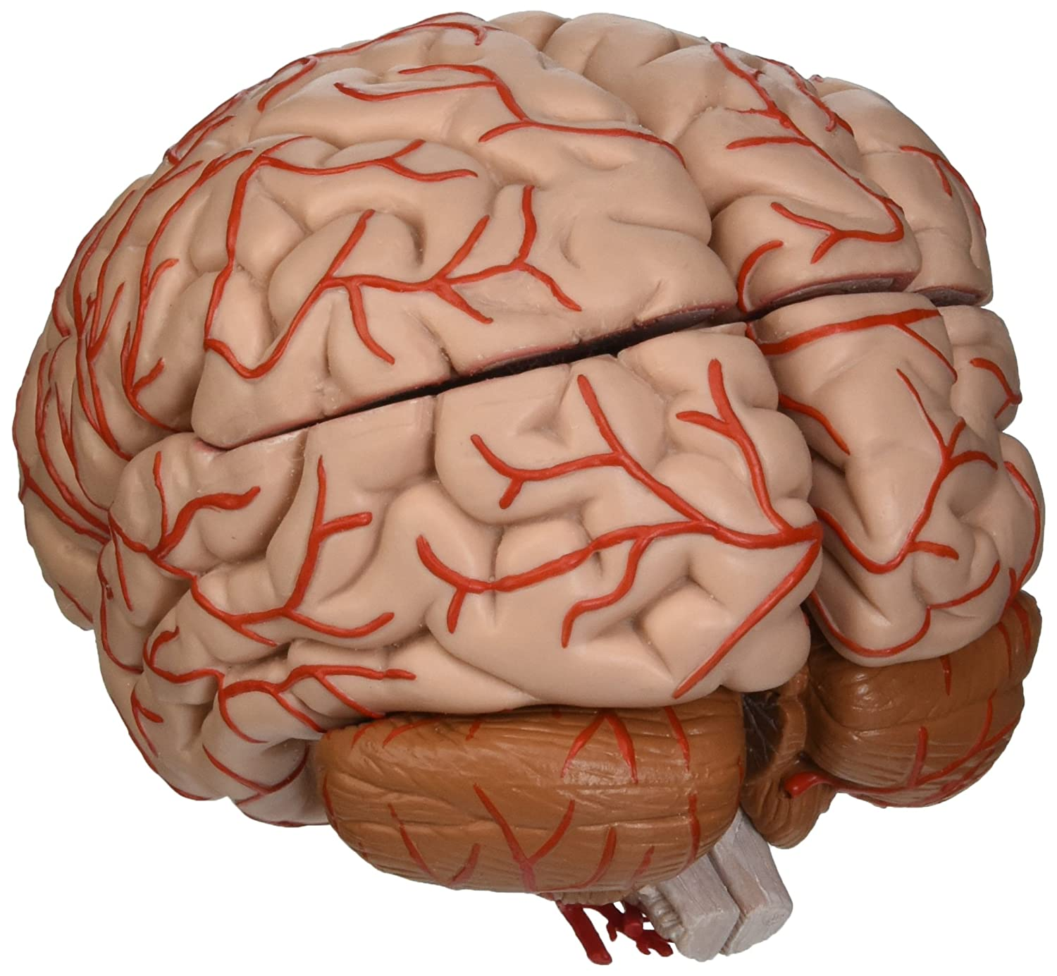 3b Scientific C20 9 Part Brain With Arteries Model 59 X 55 X