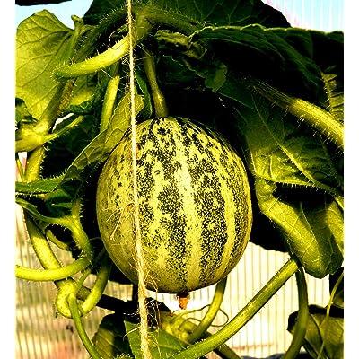 Hybrid Cucumber-Melon Carosello Seeds Barese Armenian Cucumber Rare Organic up to 20 Seeds : Garden & Outdoor