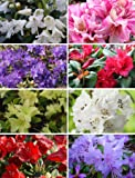 8 Plant Pack Mixed Dwarf Rhododendrons Evergreen Garden Shrub Colour Variety