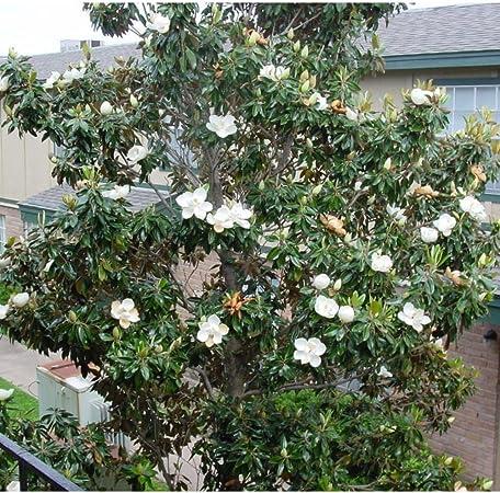 Amazon Com 5 Southern Magnolia Tree Seeds Magnolia Grandiflora