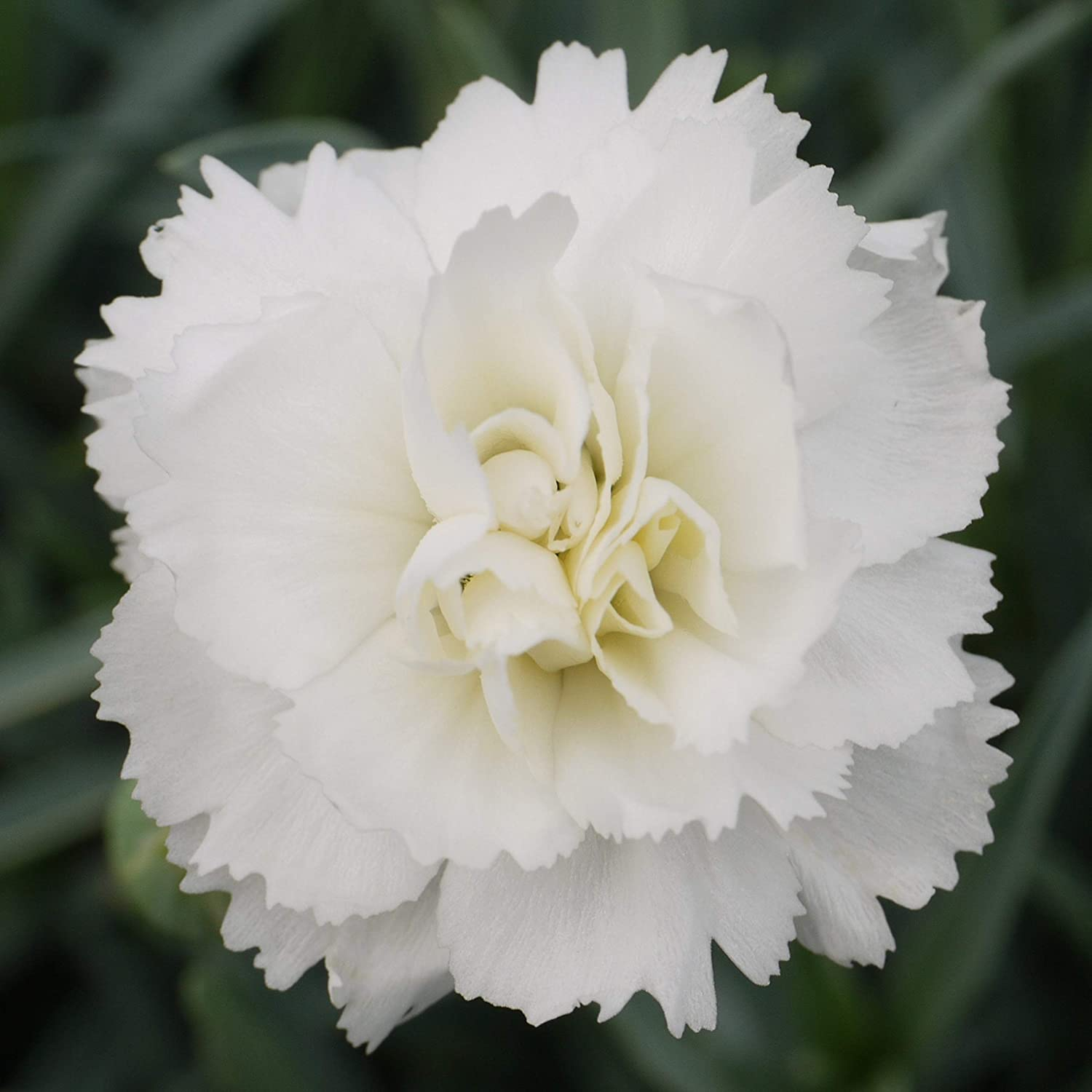 Dianthus Arctic Star Scented Early Flowering Pink